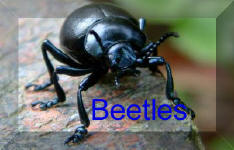 Back To beetles Page