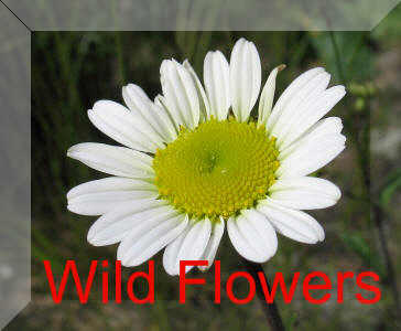 Back To Wild Flower Page