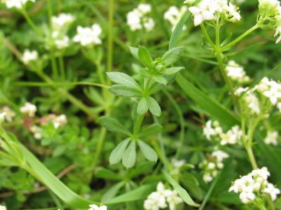 Heath Bedstraw Gallium mollugo